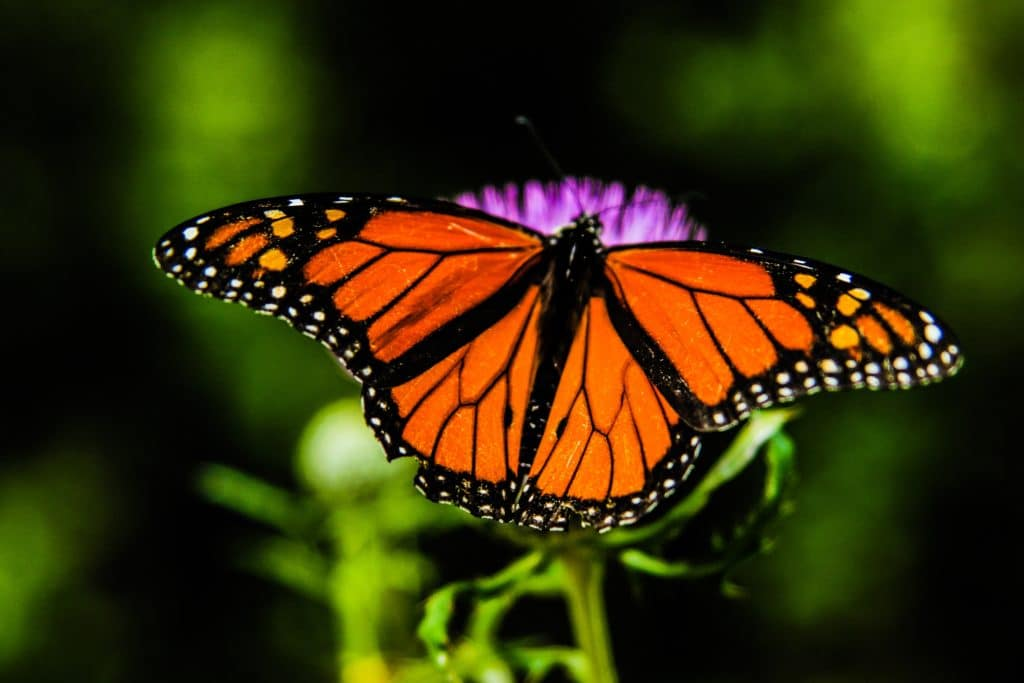 Monarch, butterfly, milkweed, endangered