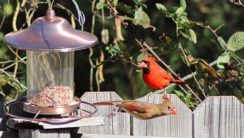 Cardinals, birdfeeder, birdwatching
